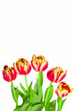 Red tulips, isolated Stock Photo