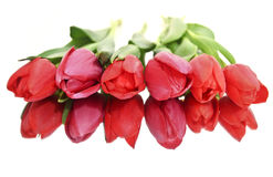 red tulips isolated - mirror flower royalty free stock image