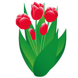 Red Tulips Isolated Object. Spring tulips - red flowers and buds, green leaves on a white background. Isolated objects Royalty Free Stock Image