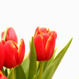Red tulips isolated Stock Photos