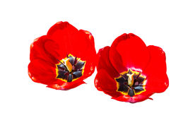 Red tulips isolated. Isolated red tulips on white Royalty Free Stock Photography