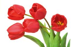Red tulips isolated on a white background. The Red tulips isolated on a white background Royalty Free Stock Photo