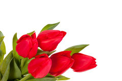 Red tulips isolated on white background. Bunch of red tulips isolated on white background Royalty Free Stock Photos