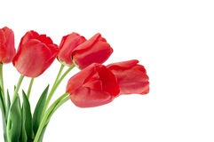 Red tulips. Isolated on a white background Stock Photography