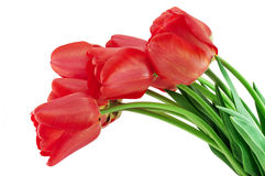 Red tulips. Isolated on a white background Stock Images