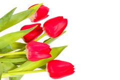 Red tulips isolated on white background. Bunch of red tulips isolated on white background Royalty Free Stock Photo
