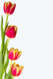 Red tulips isolated on white background. Isolated Stock Photos