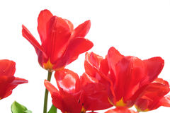 Red tulips isolated on white Royalty Free Stock Images