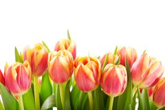 Red tulips isolated on white background Stock Photos
