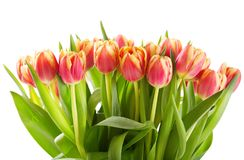 Red tulips isolated on white background Royalty Free Stock Images