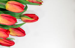 Red tulips isolated on white background - spring flowers post card Stock Photography
