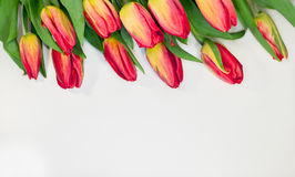 Red tulips isolated on white background - spring flowers post card Royalty Free Stock Photography