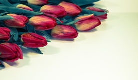 Red tulips isolated on white background - spring flowers post card Royalty Free Stock Image
