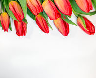 Red tulips isolated on white background - spring flowers post card Stock Photos