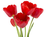 Red tulips isolated on white Stock Image
