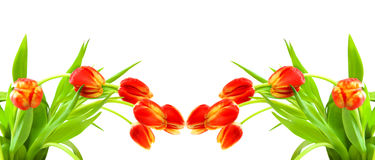 Red tulips isolated on white. Royalty Free Stock Image