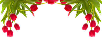 Red tulips isolated on white. Stock Images