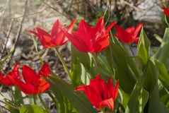 The red tulips Kaufman Tulipa kaufmanniana. Variety of Alfred Cortot blossom in the garden in the spring Stock Photos