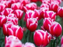 Red tulips in Keukenhof Botanical Garden, Holland royalty free stock photo