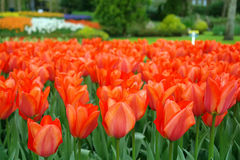 Red tulips, Keukenhof gardens. The Netherlands Royalty Free Stock Photos