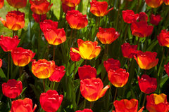 Red tulips Royalty Free Stock Photos