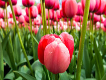 Red tulips Holland Royalty Free Stock Photos
