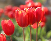 Red Tulips Photographed on Sunny Day. Red tulips in a large flower bed, taken on a sunny day.  Hints of yellow in the petals, stems and grass are light green Royalty Free Stock Images