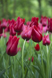 Red tulips leaning towards each other. Two red tulips leaning towards each other, in a field of tulips with a woodland background Royalty Free Stock Photography