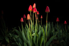 Red tulips - light paintings Royalty Free Stock Images