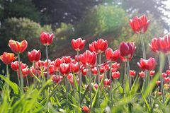 Red Tulips Lit by Sunlight (2). Many Red Tulips Lit by Sunlight on Green Background Stock Images