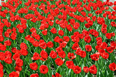 Red tulips. Lot of red tulips on the entire background Stock Photo