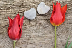 Red tulips for love Royalty Free Stock Images