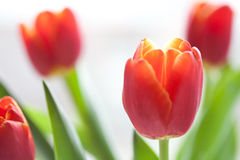 Red tulips macro view. Spring flowers on white background. shallow depth of field, soft focus Royalty Free Stock Photo