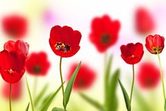 Red Tulips. On the Meadow in the Springtime stock image
