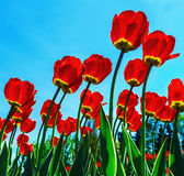 Red tulips in the morning sun Royalty Free Stock Image