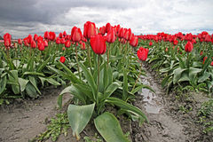 Red Tulips in Muddy Field Royalty Free Stock Photo