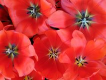 Red tulips. Multiple red tulips pattern burst Royalty Free Stock Image