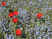 Red tulips between myosotis flowers stock footage