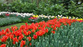 Red Tulips and narcissus Royalty Free Stock Images