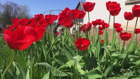 Red tulips near house. In summer day stock video footage