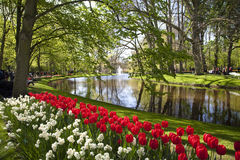 Red tulips near the pond in Keukenhof. South Holland, Netherlands Stock Image