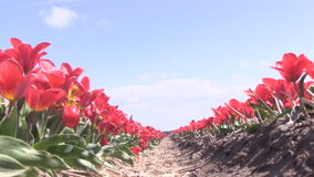 Red tulips in The Netherlands. Red tulips in a field near The Keukenhof in The Netherlands stock video