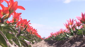 Red tulips in The Netherlands. Red tulips in a field near The Keukenhof in The Netherlands stock video footage