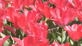 Red tulips in The Netherlands. Red tulips in a field near The Keukenhof in The Netherlands stock footage