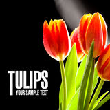Red tulips no the black background Royalty Free Stock Photography
