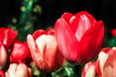 Red tulips, with one flower selectively focused, isolated against a red and green bokeh out of focus dark background Royalty Free Stock Photos