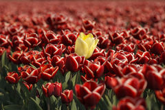 Red tulips. With one yellow tulip Royalty Free Stock Images