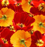 Red tulips and orange poppies background Royalty Free Stock Images