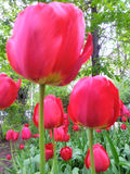 red tulips in out of focus Stock Image