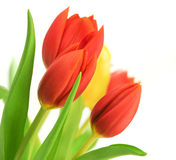 Red Tulips over white. Border of red tulips over a white background and one yellow tulip, with leaves, flowers are placed in the angle of the image stock photo